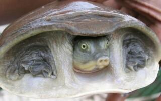 Дальневосточная черепаха Китайский Трионикс: содержание в домашних условиях