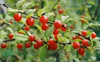 Китайская вишня: полезные свойства