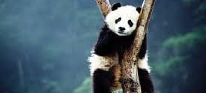 Где увидеть китайскую панду — памятка для туристов