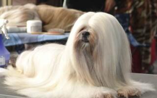 Порода собак Лхаса