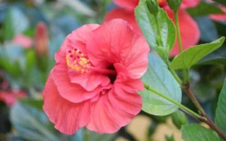 Китайская роза или гибискус: приметы