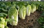 Капуста китайская выращивание и уход