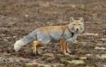 Тибетская лисица- интересные факты из образа жизни и среды обитания