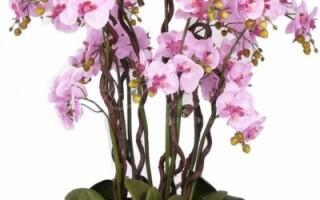 Как вырастить орхидею из китайских семян