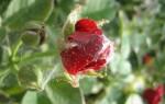 Почему желтеют листья у комнатной китайской розы