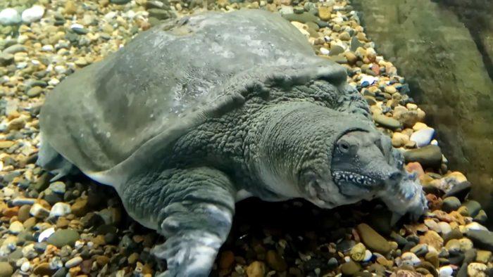Дальневосточная черепаха Китайский Трионикс: