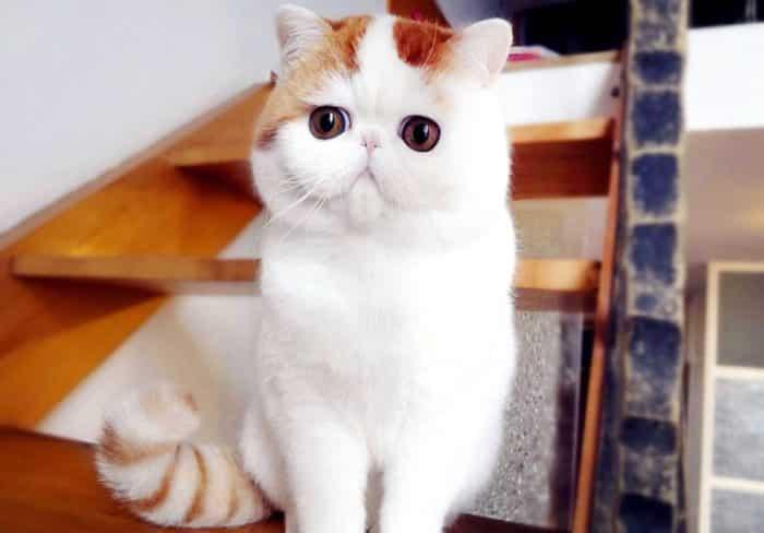 Китайская порода кошек