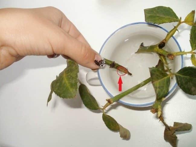 Китайская роза: Размножение