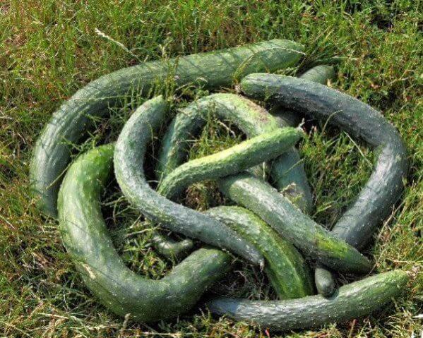 Китайская змея