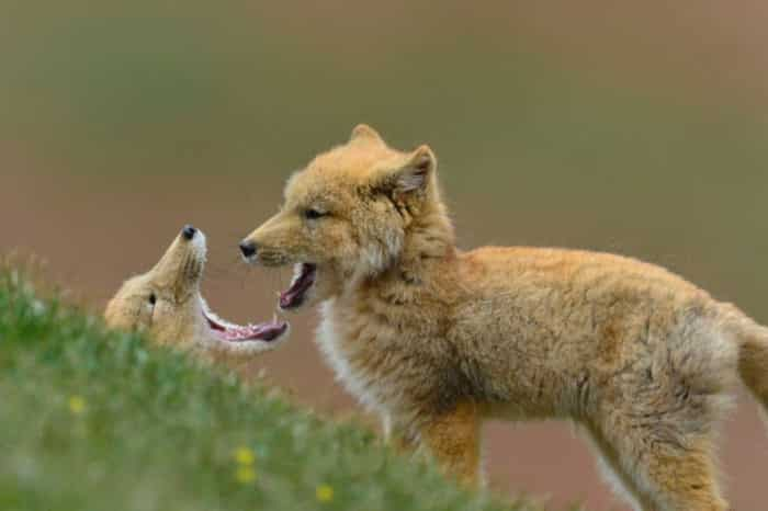 Тибетская лисица