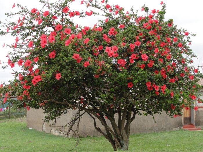 дерево -роза