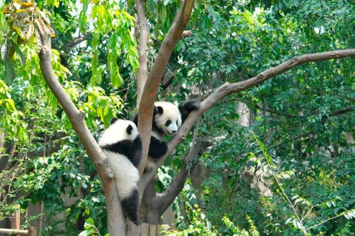 Питомник-парк «Горное урочище панд» реально необходимо посмотреть.