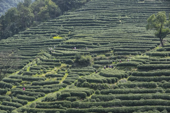 Плантация зеленого чая Лунцзин