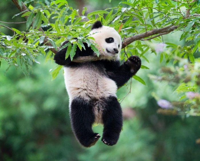 Заповедник панд в Чэнду в Сычуане