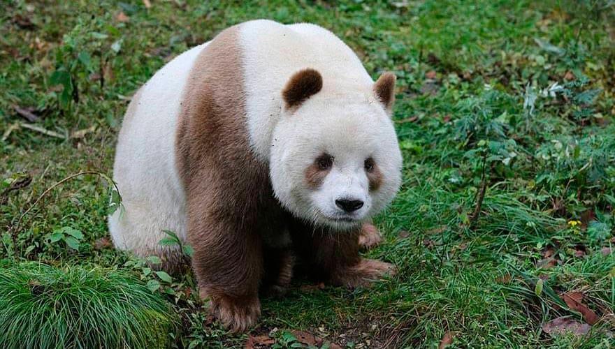Большая коричневая панда