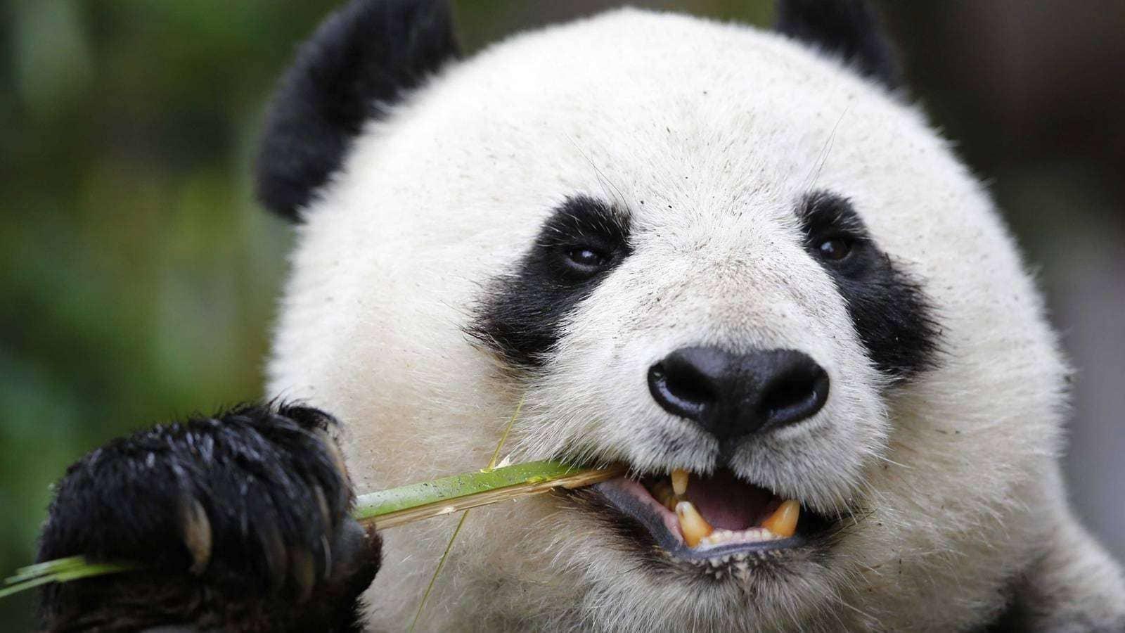 Панда в Китае