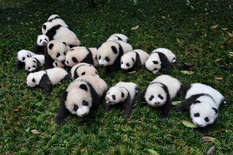 Маленькие панды в Китае