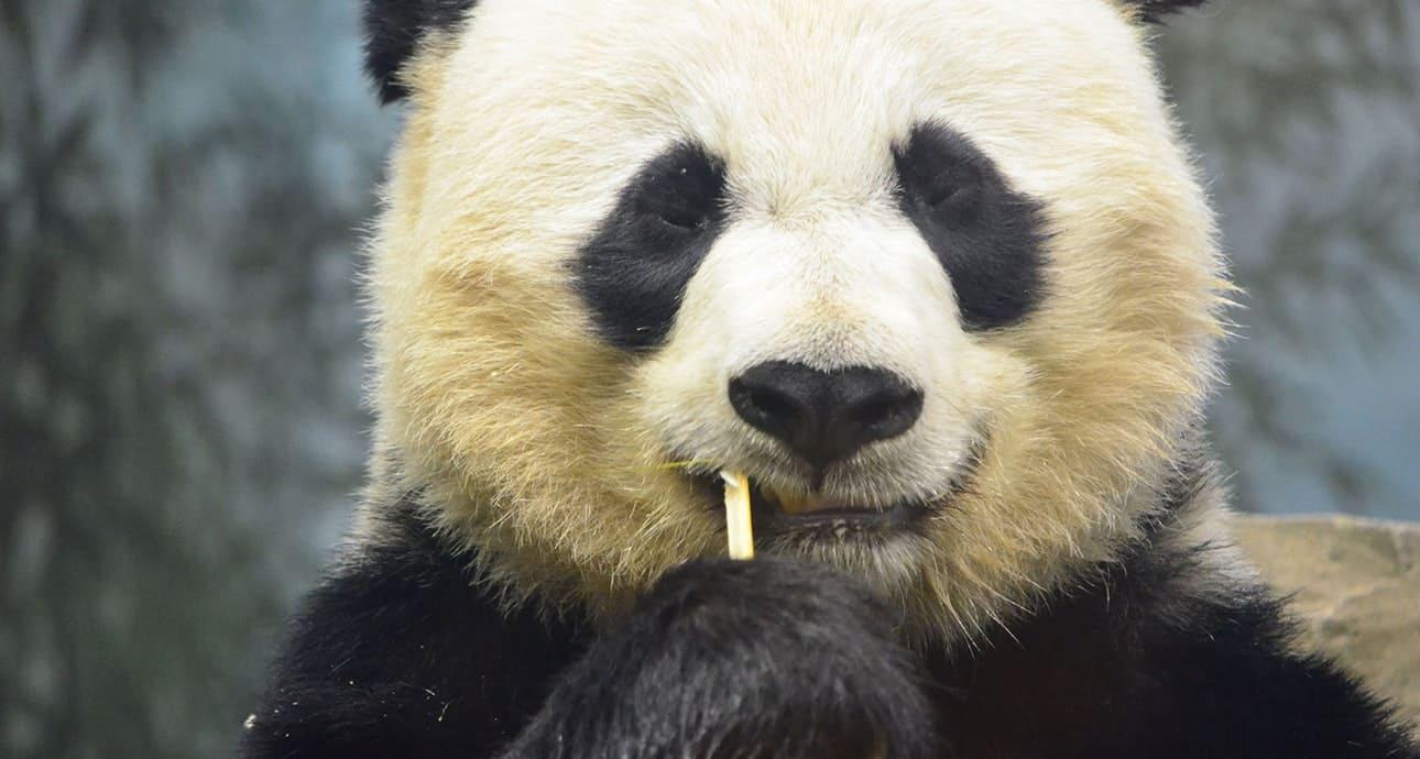 Китайская панда крупным планом