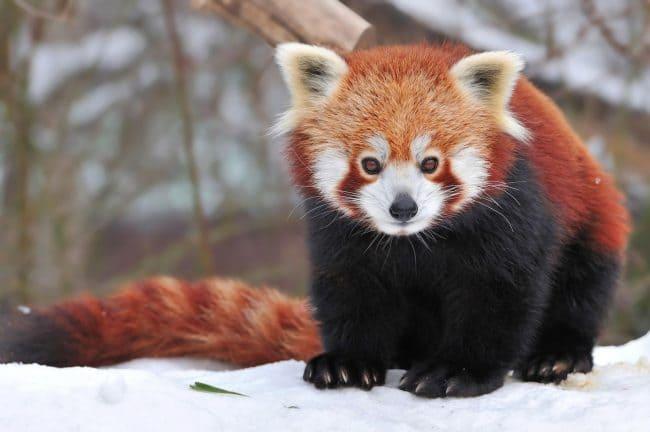 Красная китайская панда