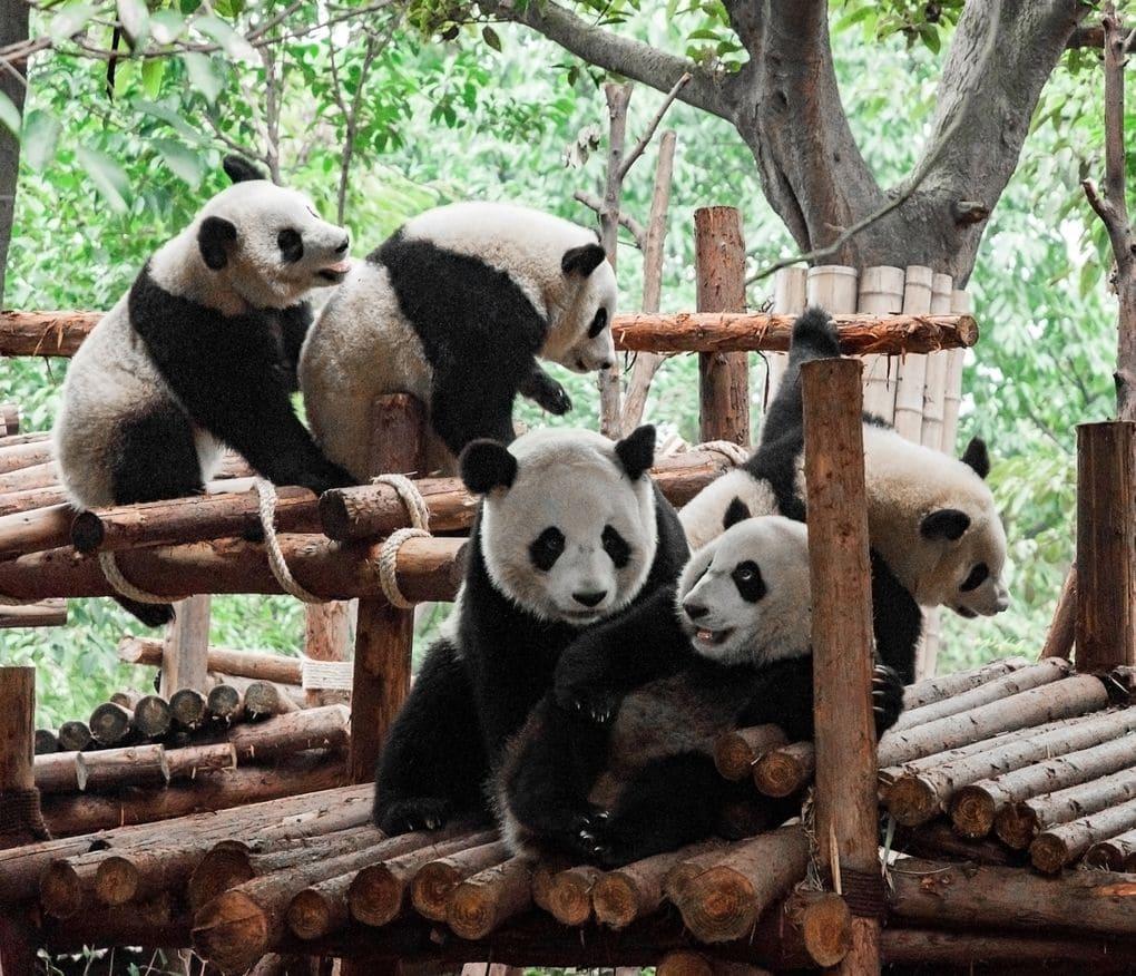 Заповедник панд в Чэнду, Китай